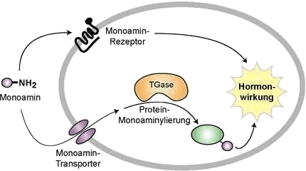 Active uptake of histamine in a cell by monoamine-transporters